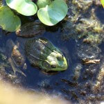 Frog (1/2)