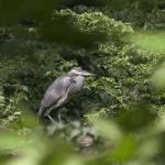 Wild Bird #1 (1/7)
