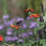 Butterfly / Moth? (1/4)
