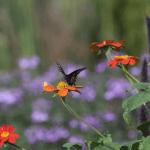 Butterfly / Moth? (2/4)