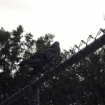 Pigeon (1/3)